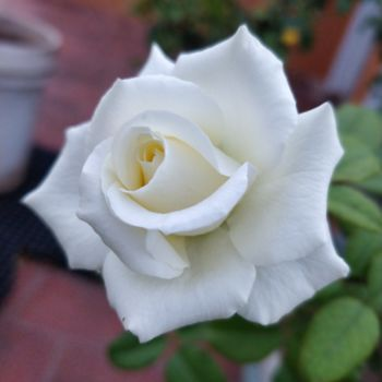 """Photography titled """"White Rose"""" by Ak, Original Art, Digital Photography"""