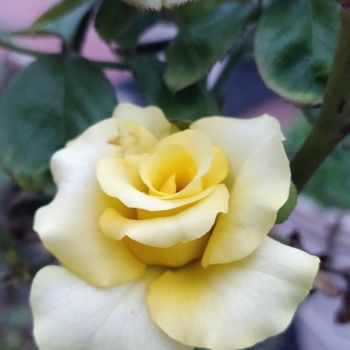 """Photography titled """"Yellow Rose"""" by Ak, Original Art, Digital Photography"""