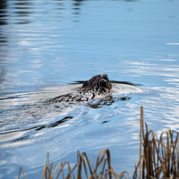 """Photography titled """"Busy Beaver"""" by Igzotic, Original Art, Digital Photography"""