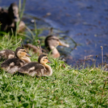 """Photography titled """"Ducklings"""" by Igzotic, Original Art, Digital Photography"""