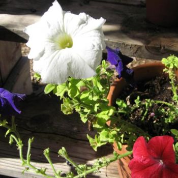"""Photography titled """"Mixed color petunias"""" by Drapala Gallery, Original Art,"""