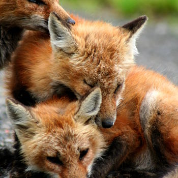 """Photography titled """"Red-fox-pups"""" by Redreamer, Original Art,"""