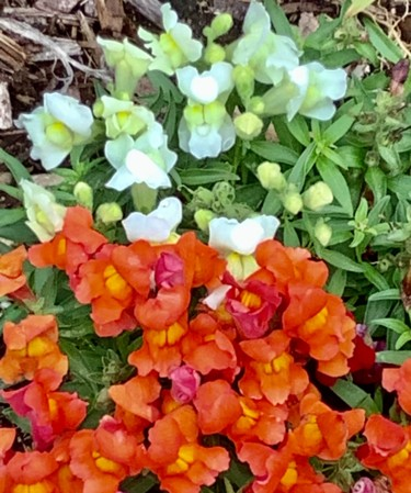 """Photography titled """"Snapdragons"""" by Artistry By Ajanta, Original Art, Digital Photography"""