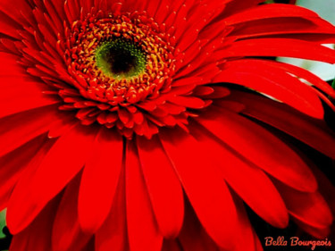 """Photography titled """"Coral Gerber Daisy"""" by Bella Bourgeois, Original Art, Digital Photography"""