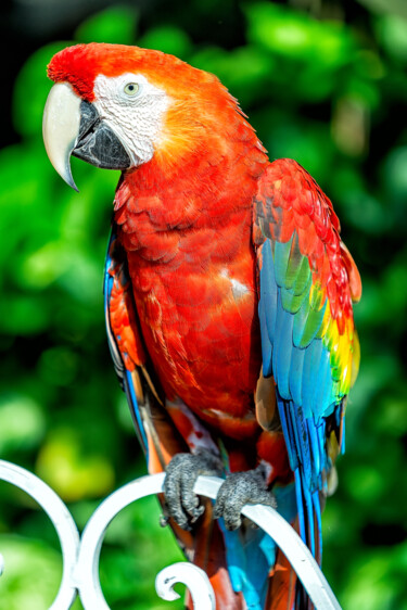 """Photography titled """"Red Macaw"""" by Glauco Meneghelli, Original Art, Digital Photography"""