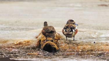 """Photography titled """"Spring Wigeons"""" by Igzotic, Original Art, Digital Photography"""