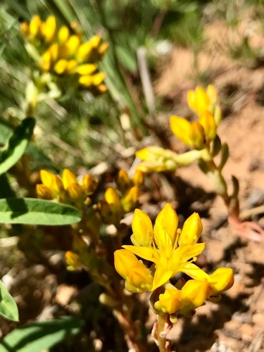 """Photography titled """"Yellow Stonecrop"""" by Igzotic, Original Art, Digital Photography"""