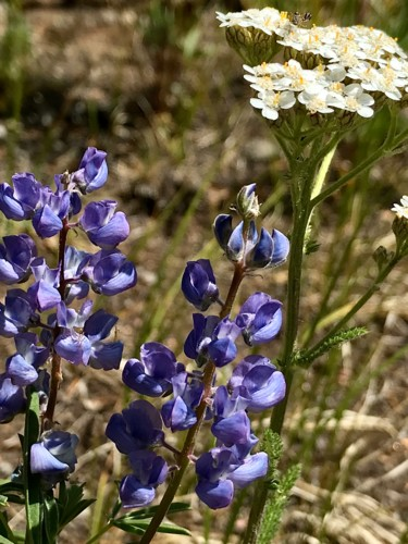 """Photography titled """"Silver Lupine and Y…"""" by Igzotic, Original Art, Digital Photography"""