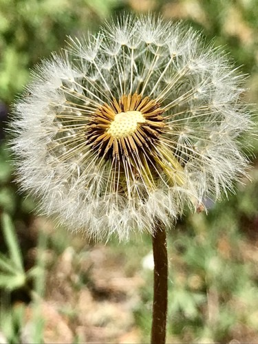 """Photography titled """"Dandelion"""" by Igzotic, Original Art, Digital Photography"""