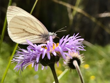 """Photography titled """"Butterfly on Aster"""" by Igzotic, Original Art, Digital Photography"""
