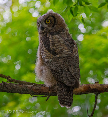 """Photography titled """"Young Great Horned…"""" by Joe Pate, Original Art, Digital Photography"""
