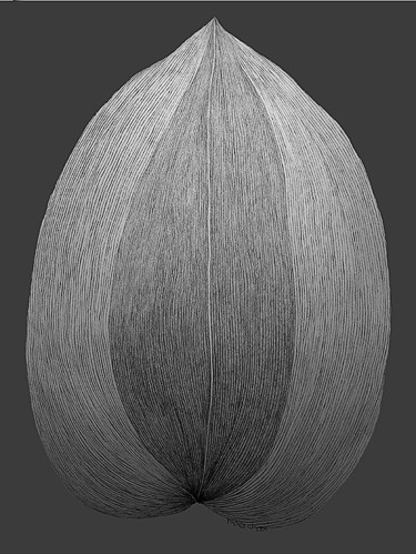 """Drawing titled """"Bo leaf"""" by Norachai, Original Art, Graphite"""