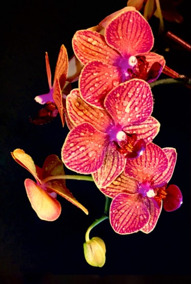 """Photography titled """"Orchids in Bloom"""" by Stephen D. Smith, Original Art, Digital Photography"""