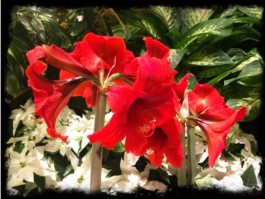 """Photography titled """"Christmas Red Hibis…"""" by Stephen D. Smith, Original Art, Digital Photography"""