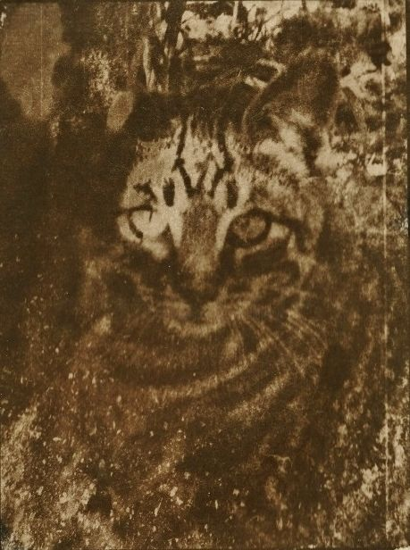 Le petit tigre - Photography,  7.1x5.1 in, ©2019 by Ariane Canta-Brejnik -                                                                                                                                                                                                                                              cyanotype, toned cyanotype, cyanotype teinté, cianotipia, petit tigre