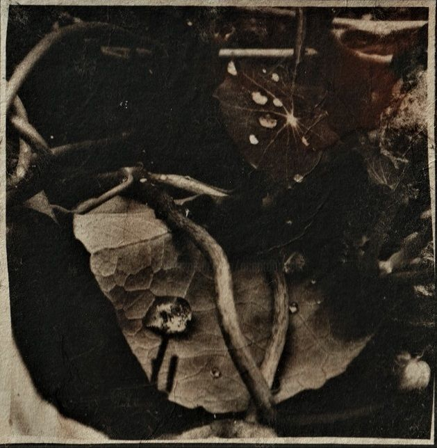 The last one - Photography,  5.1x5.1 in, ©2020 by Ariane Canta-Brejnik -                                                                                                                                                                                                                                                                                                                                                                                                                                  Botanic, capucines, dark nasturtium, cyanotypes, cyanotypes teintés, capucines en cyanotypes, cianotipa, cianotipa virada, cyanotype printer