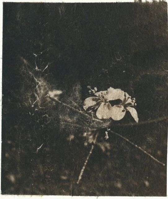 Petite fleur 3 - Photography,  4.3x3.7 in, ©2016 by Ariane Canta-Brejnik -                                                                                                          cyanotype sur wenzhou, Limited Edition