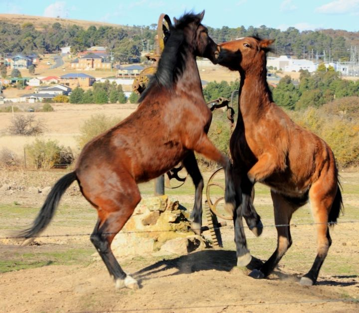 """Photography titled """"Horse fight"""" by Acko68, Original Art,"""