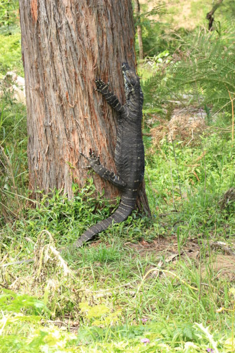 """Photography titled """"Goanna at Bakers Fl…"""" by Acko68, Original Art,"""