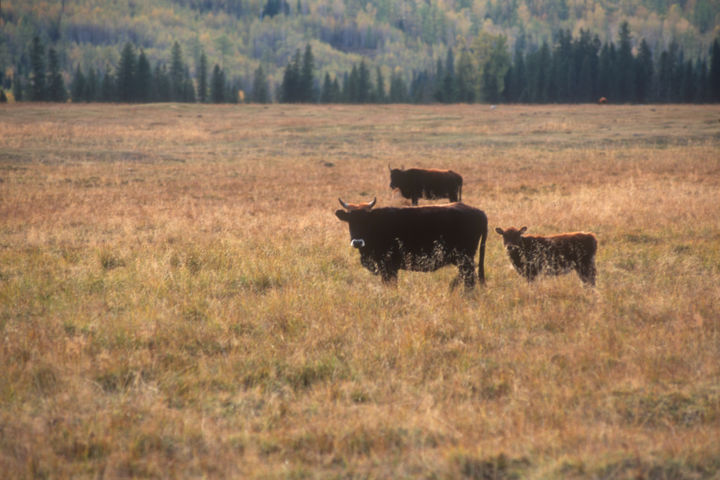 """Photography titled """"Oxen at the sunset"""" by Adrian One, Original Art, Analog photography"""