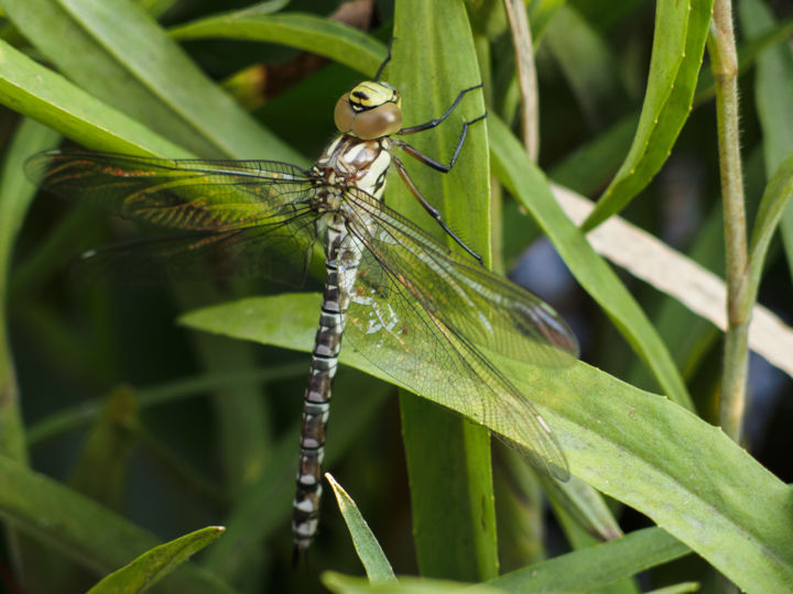 """Photography titled """"I am dragonfly......"""" by Hope, Original Art,"""