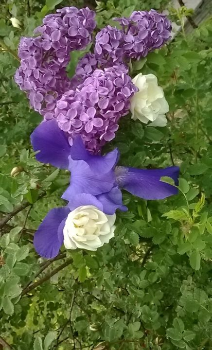 Flowering of lilac and iris on the wild rose Bush - Photography ©2019 by Marina Alexandrova -                            Abstract Expressionism, flowers