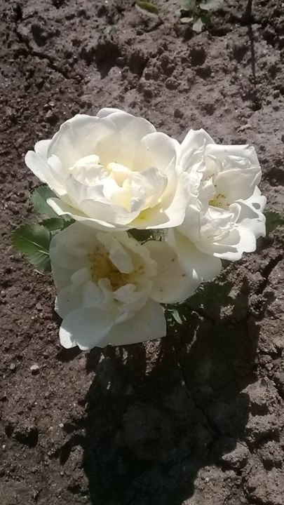 Bouquet of 3 wild rose flowers on the ground - © 2019 flowers Online Artworks