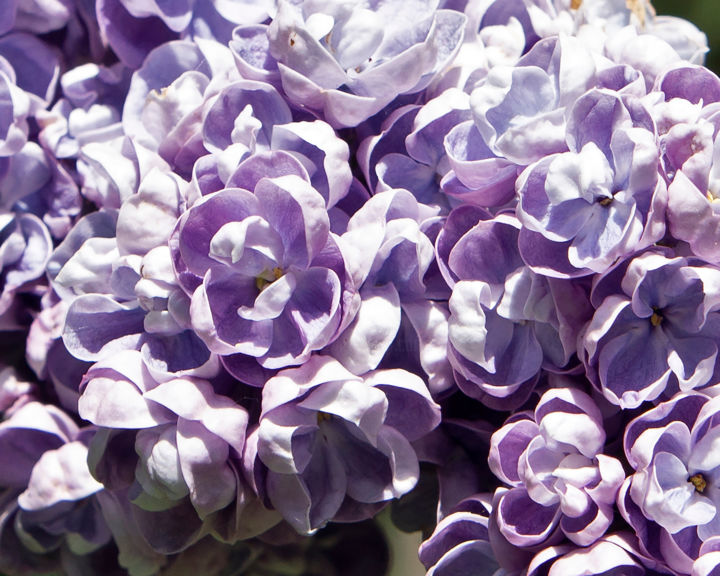 Lilac and sun - Photography,  15.8x12.6x0.1 in ©2019 by Alexandr Zhurakovskiy -                            Flower, lilac, flowers, petals, blossom, blooming, garden, spring
