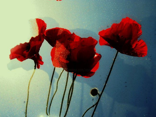 fleurs rouges - Photography,  7.9x11.8 in, ©2009 by Aquartistiq -                                                              poppies  coquelicots  fleurs  flowers