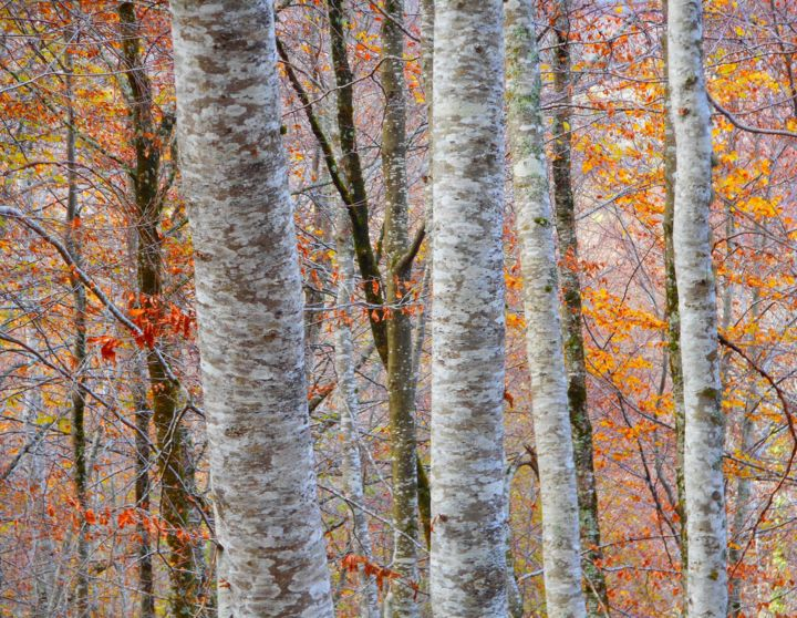 Couleur D'automne..... - Photography, ©2016 by Philippe Berthier -                                                                                                                                                                                                                                                                                                                                                                                                                                                                                                      Impressionism, impressionism-603, Other, Tree, automne, saison, couleurs, nature, feuillage, Limited Edition