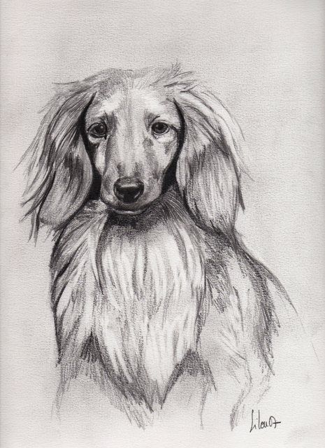 Teckel poil long portrait animalier - Dessin teckel ...