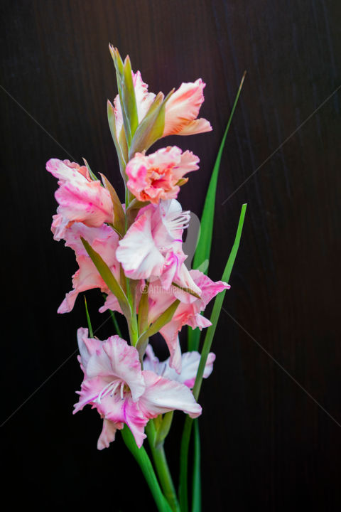 """Photography titled """"Gladiolus pink on a…"""" by Benjamin, Original Art, Digital Photography"""