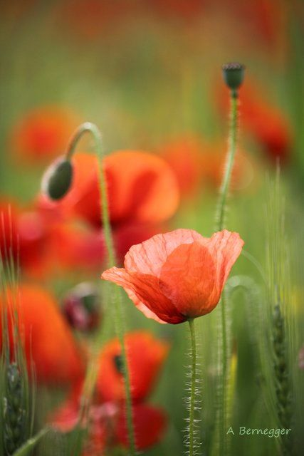 Coquelicots - Installation ©2017 by Alain Bernegger -