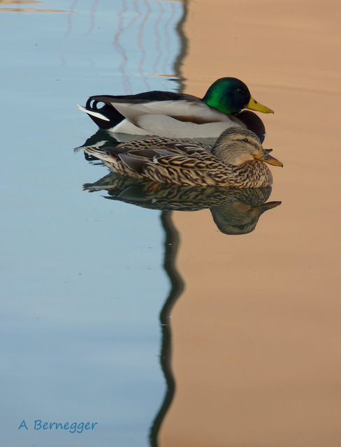Canards et reflet - Photography ©2017 by Alain Bernegger -