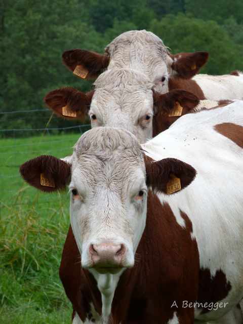 3 vaches - Photography ©2017 by Alain Bernegger -