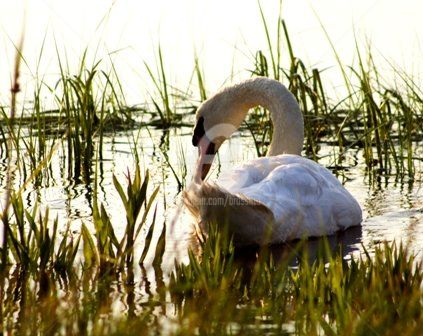 """Photography titled """"swan in the causeway"""" by B.Rossitto, Original Art,"""