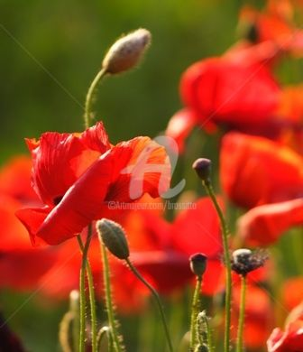 """Photography titled """"Poppies"""" by B.Rossitto, Original Art,"""