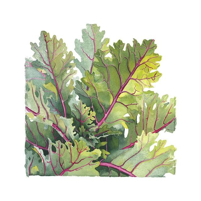Decorative Cabbage - Painting,  13x13 in, ©2006 by Candace Bialczak -                                                              plants herbs leaves kitchen decorative cabbage garden nature