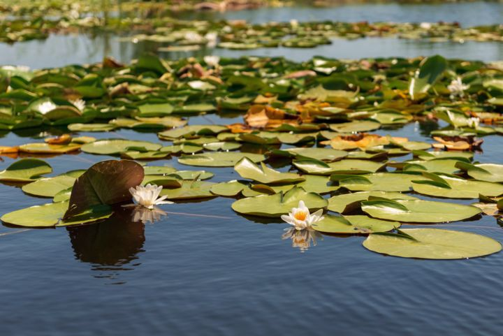 """Photography titled """"Water lilies on the…"""" by Dan Carp, Original Art, Digital Photography"""