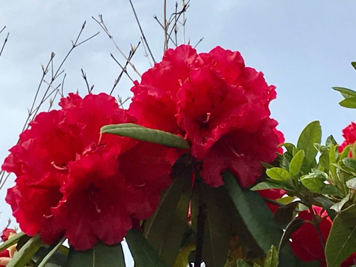 FLEURS DE RHODODENDRON - Photography ©2019 by Cathou-bazec -                                            Photorealism, Flower, rhododendron