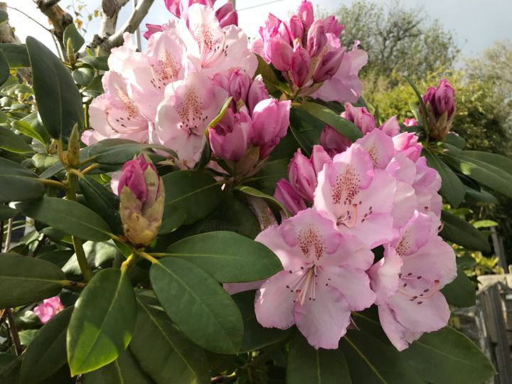 RHODODENDRON - Photography ©2019 by Cathou-bazec -                                            Photorealism, Flower, rhododendron