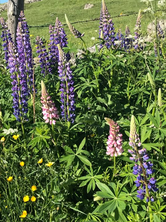 LUPINS - Photography, ©2019 by Cathou-Bazec -                                                                                                              Flower, Lupins