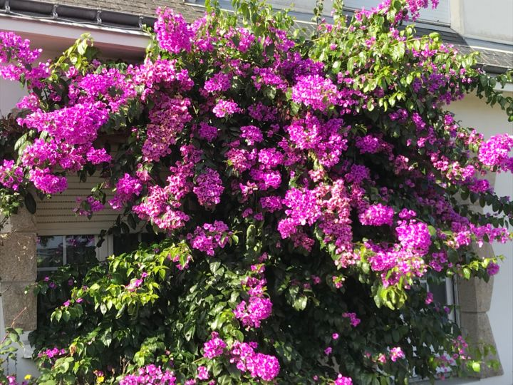 BOUGAINVILLIERS - Photography, ©2019 by Cathou-Bazec -                                                                                                              Flower, bougainvillier