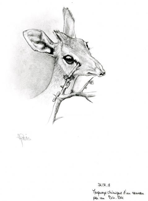 Dik dik - Drawing,  29x21 cm ©2006 by Cécile Aquisti -