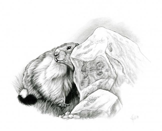 Marmotte - Drawing,  29x21 cm ©2006 by Cécile Aquisti -