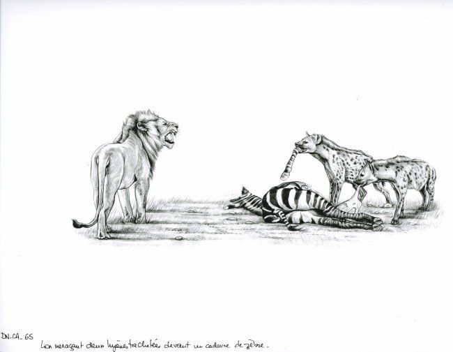Lion et hyènes - Drawing,  29x21 cm ©2006 by Cécile Aquisti -