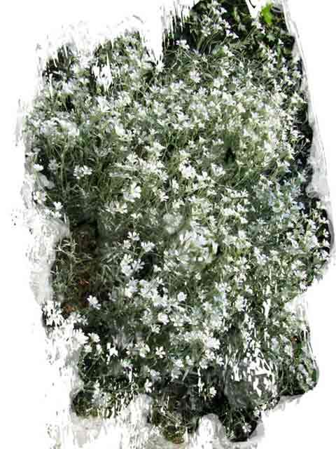 little white flowers - Photography, ©2011 by Richard Raveen Chester -
