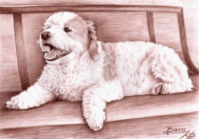 Baco - Painting, ©2008 by Arts & Dogs -                                                                                                                                                                          Figurative, figurative-594, dog hund chien pudel poodle animal charcoal brown