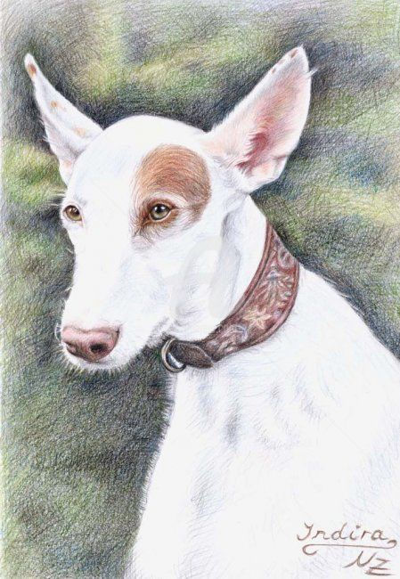 Podenco - Painting, ©2008 by Arts & Dogs -                                                                                                                                                                          Figurative, figurative-594, dog hund chien tier animal podenco ibicenco fur fell portrait