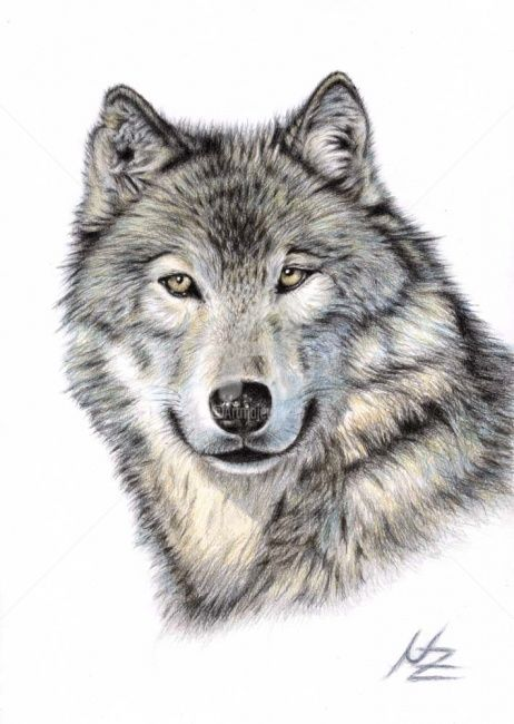 The Wolf - Painting,  11.8x7.9 in, ©2008 by Arts & Dogs -                                                                                                                                                                          Figurative, figurative-594, wolf wolves animal tier portrait drawing zeichnung wildlife fell fur canine pelz hund dog realismus realism natur nature grey grau